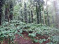 Araku Valley coffee plantations2.jpg