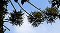 Aralcaria Serra do japi. - panoramio.jpg