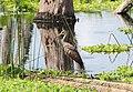 Aramus guarauna (Limpkin) 06.jpg
