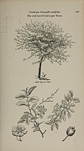 Arboretum et fruticetum britannicum, or - The trees and shrubs of Britain, native and foreign, hardy and half-hardy, pictorially and botanically delineated, and scientifically and popularly described (14597228820).jpg