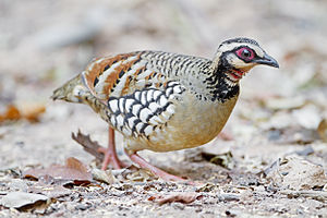 Bar-backed partridge - Male