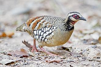 Bar-backed partridge - Male