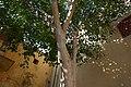 Arbre sacré à Jaipur (2).jpg