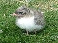 Arctic tern (Sterna paradisaea) chick.jpg