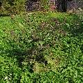 Arctium tomentosum20090912 153.jpg
