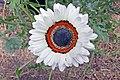 Arctotis fastuosa-IMG 6978.jpg