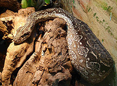 Boa (Boa constrictor occidentalis)