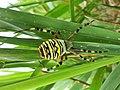 Argiope bruennichi (Araneidae) - (imago), Elst (Gld), the Netherlands.jpg
