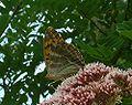Argynnis paphia femelle (Gaffard).jpg