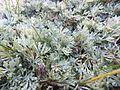 Artemisia nitida - Viote 05.jpg
