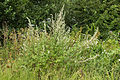 Artemisia vulgaris (19874129320).jpg