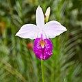 Arundina graminifolia-IMG 0724.JPG
