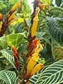 Arya.Sanchezia speciosa.taman kuning.KRK.2019.00.jpg