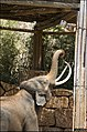 Asian-Elephant-Jerusalem-Jerusalem-Biblical-Zoo-IZE-345.jpg