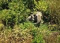 Asian Elephant, Himchori.jpg