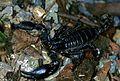 Asian Forest Scorpion (Heterometrus spinifer) (7802917594).jpg