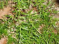 Asparagus aethiopicus 'Sprengeri' L. (AM AK226531-1).jpg