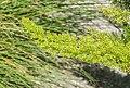 Asparagus densiflorus 'Myersii' in Jardin des 5 sens (3).jpg