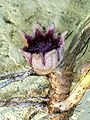 Aspidistra flower.jpg