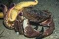 Asterias amurensis on a crab.jpg
