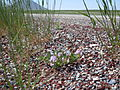 Astragalus cibarius (5882195007).jpg