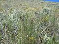 Astragalus filipes (5459327083).jpg
