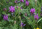 Astragalus onobrychis 1.jpg