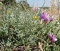 Astragalus subuliformis 31224967.jpg