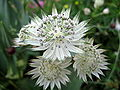 Astrantia major 01.jpg