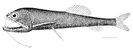 Astronesthes niger