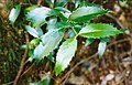 Atherosperma-CementCreek-leaves1997.jpg