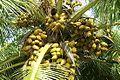 Athiyur coconuts.jpg
