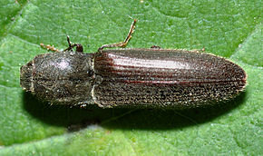 Description de l'image Athous haemorrhoidalis - top (aka).jpg.