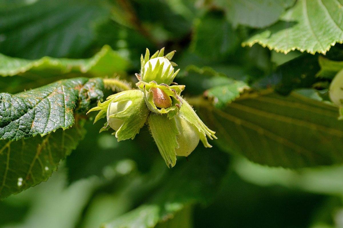Avellano, con su fruto (las avellanas) en primer plano.