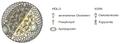 Aufbau eines Lipoproteins.png