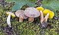 Aureoboletus auriporus (Peck) Pouzar 904373.jpg