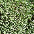 Aurinia saxatilis 3.jpg