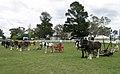 Aust Draught Horses.JPG
