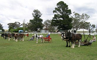 Australian Draught horse - Australian Draught Horse competition, Woolbrook, NSW