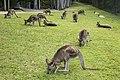 Australia Zoo resting Wallibies-1 (18002269248).jpg