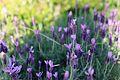 Australian Lavender.jpg