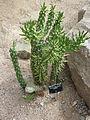 Austrocylindropuntia subulata (Cactaceae).JPG