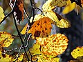 Autumn Leaves South Toe River Celo Camp NC 4242 (26172061929).jpg
