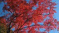 Autumn red - panoramio (9).jpg