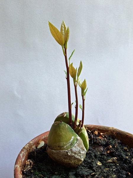 File:Avocado-pflanze003.jpg