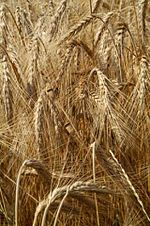 Búza wheat.jpg
