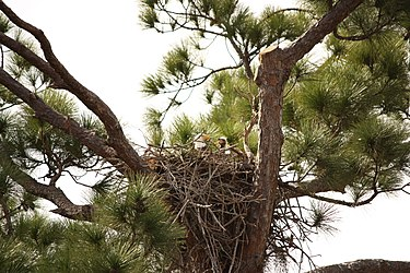 Baby Bald Eagle in nest.jpg