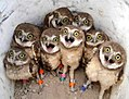 Baby burrowing owls!.Jpg
