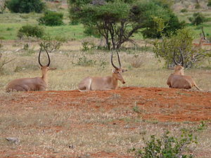 Hirola - Bachelor herd consisting of three sub-adult males, Tsavo East National Park, 2011.  (Copyright James Probert)