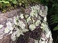Baeomyces rufus 9575564.jpg